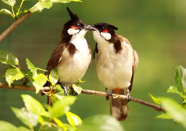 Cho chim trống sống cùng với chim mái